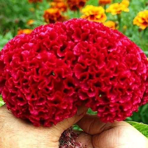 Trợ giá hạt giống hoa mào gà búa eefy1