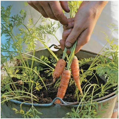 Trợ giá hạt giống củ cà rốt mini eefy1 - 19848145 , 25011080 , 15_25011080 , 12090 , Tro-gia-hat-giong-cu-ca-rot-mini-eefy1-15_25011080 , sendo.vn , Trợ giá hạt giống củ cà rốt mini eefy1