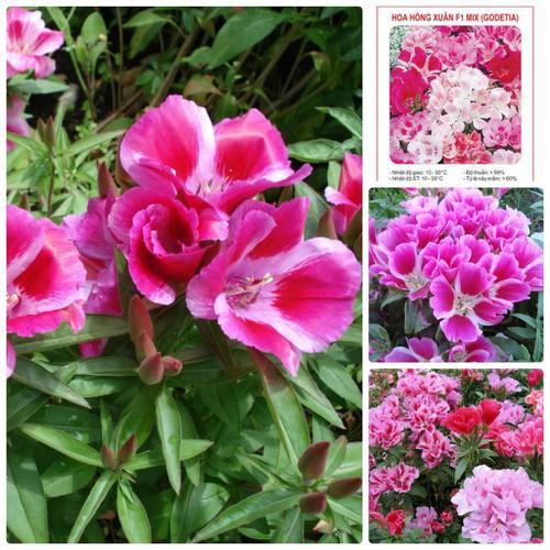 Trợ giá hạt giống hoa hồng xuân mix godetia azalea double eefy1 - 19847832 , 25010516 , 15_25010516 , 12090 , Tro-gia-hat-giong-hoa-hong-xuan-mix-godetia-azalea-double-eefy1-15_25010516 , sendo.vn , Trợ giá hạt giống hoa hồng xuân mix godetia azalea double eefy1