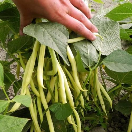 Trợ giá hạt giống đậu cove vàng và cách gieo trồng đậu cove gói 50 gram eefy1