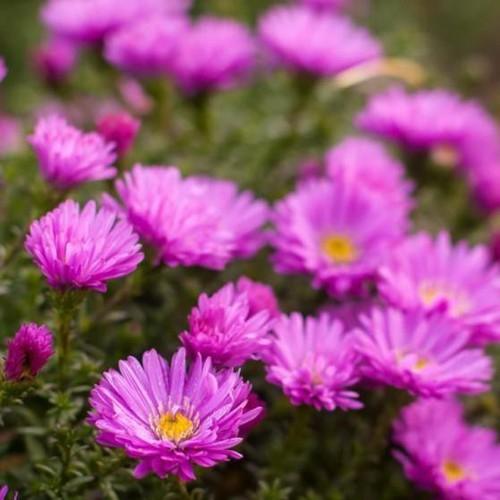 Trợ giá hạt giống hoa cúc thạch thảo 50 hạt eefy1