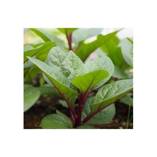 Trợ giá hạt giống rau mồng tơi đỏ ngon hơn nhiều dinh dưỡng hơn eefy1