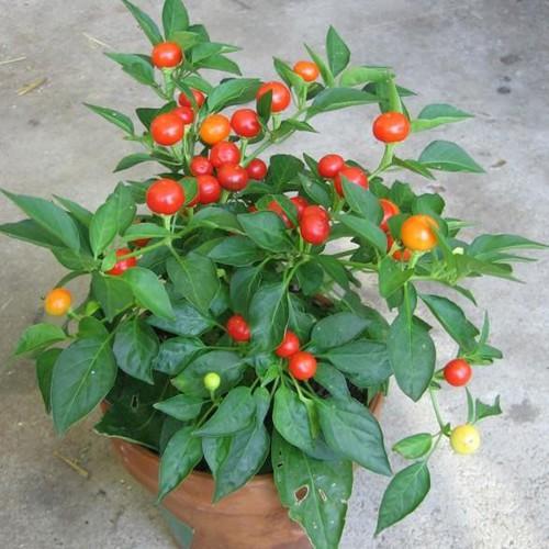 Trợ giá hạt giống ớt kiểng quả tròn đỏ gói 30 hạt dễ trồng eefy1 - 19847451 , 25010107 , 15_25010107 , 12090 , Tro-gia-hat-giong-ot-kieng-qua-tron-do-goi-30-hat-de-trong-eefy1-15_25010107 , sendo.vn , Trợ giá hạt giống ớt kiểng quả tròn đỏ gói 30 hạt dễ trồng eefy1