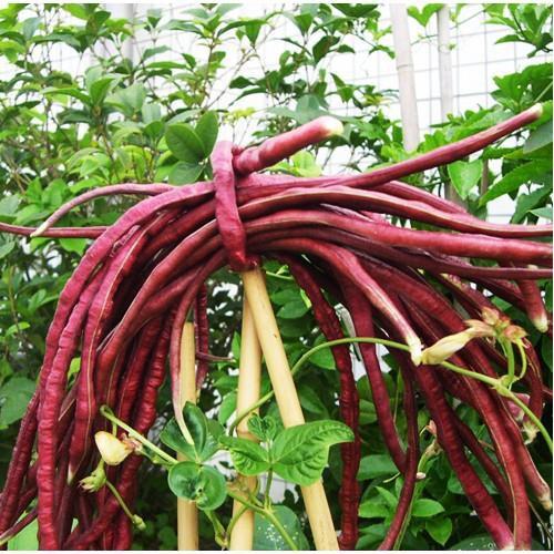 Trợ giá hạt giống đậu đũa đỏ ngon giòn năng suất eefy1 - 19847835 , 25010519 , 15_25010519 , 12090 , Tro-gia-hat-giong-dau-dua-do-ngon-gion-nang-suat-eefy1-15_25010519 , sendo.vn , Trợ giá hạt giống đậu đũa đỏ ngon giòn năng suất eefy1