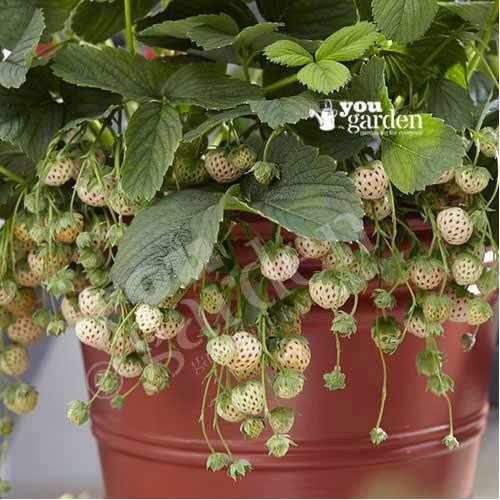 Trợ giá set hạt dâu tây đỏ dâu tây trắng 1 gói kích mầm eefy1