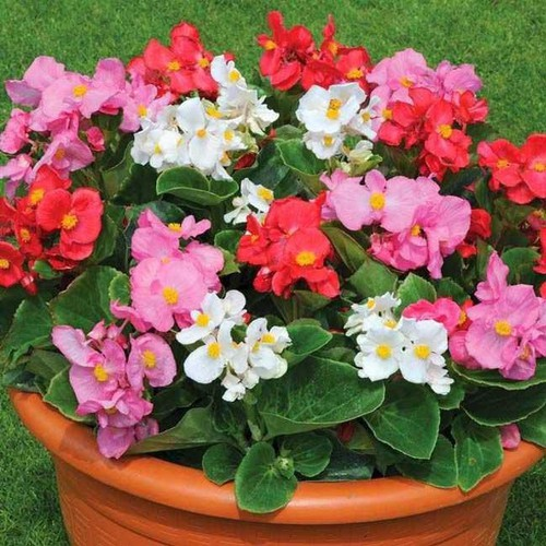 Trợ giá hạt giống hoa thu hải đường đơn nhiều màu eefy1