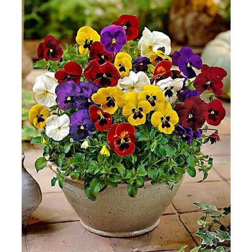 Trợ giá hạt giống hoa viola mix eefy1