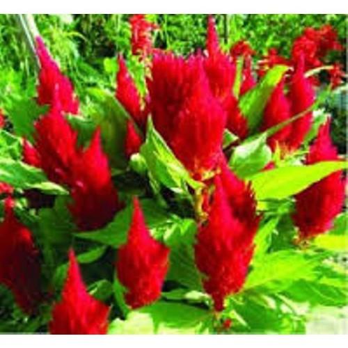 Trợ giá hạt giống hoa mào gà lửa đỏ 100 hạt eefy1