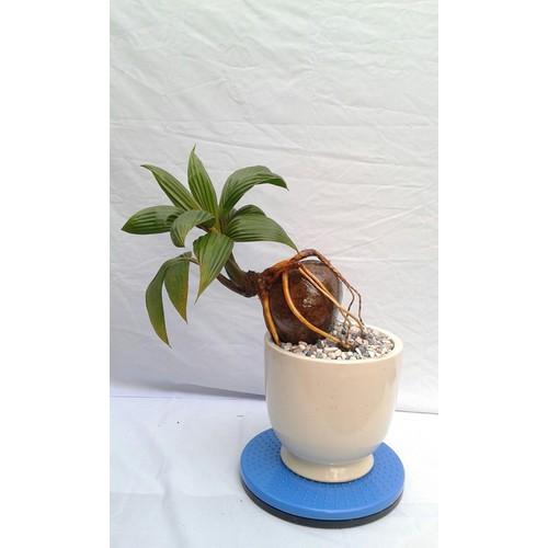 Cây kiểng bonsai dừa - 19869130 , 25036342 , 15_25036342 , 599000 , Cay-kieng-bonsai-dua-15_25036342 , sendo.vn , Cây kiểng bonsai dừa