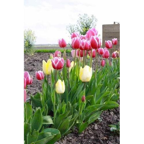 10 củ hoa tuylip hà lan - 19887979 , 25058699 , 15_25058699 , 190000 , 10-cu-hoa-tuylip-ha-lan-15_25058699 , sendo.vn , 10 củ hoa tuylip hà lan