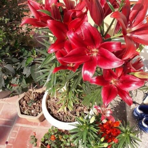 Bán củ hoa ly thơm cao đẹp của khách siêu rẻ - 20041250 , 25242359 , 15_25242359 , 220000 , Ban-cu-hoa-ly-thom-cao-dep-cua-khach-sieu-re-15_25242359 , sendo.vn , Bán củ hoa ly thơm cao đẹp của khách siêu rẻ