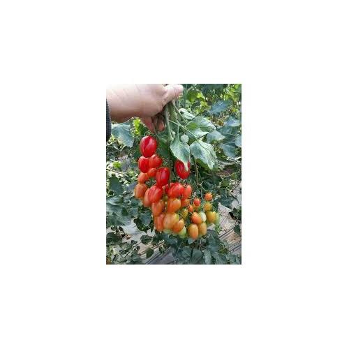 Bán hạt giống cà chua chùm quả nhót f1 siêu rẻ - 20041535 , 25242698 , 15_25242698 , 35000 , Ban-hat-giong-ca-chua-chum-qua-nhot-f1-sieu-re-15_25242698 , sendo.vn , Bán hạt giống cà chua chùm quả nhót f1 siêu rẻ