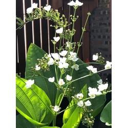 Combo 2 cây giống hoa bách thủy tiên siêu đẹp