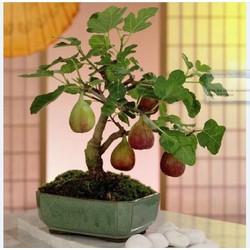 Hạt giống Sung ngọt Mỹ gói 10 hạt_ tặng kèm 3 viên nén ươm hạt