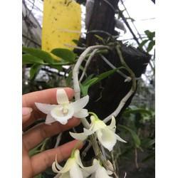 hoa phong lan 5 cánh trắng di linh cấy mô