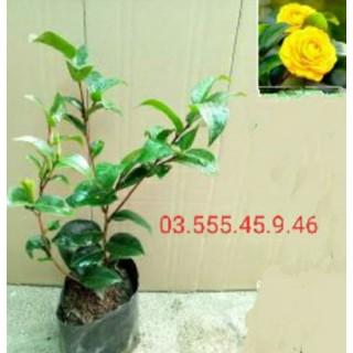 Cây Giống Hoa Trà My Màu VÀng Bầu Đất - TMV1 thumbnail