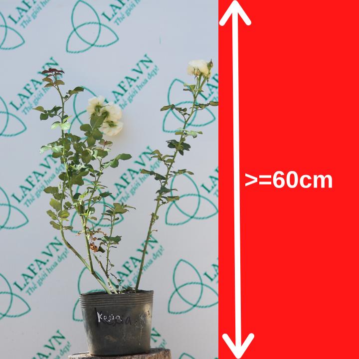 Hoa hồng Keria cây cao khỏe, xanh tốt và đang có hoa
