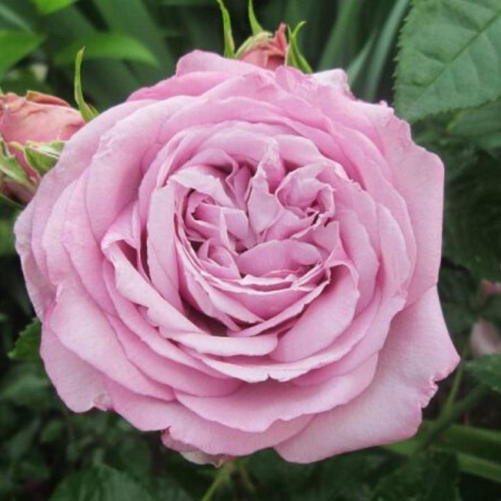 Cây hoa hồng BlueSky có hoa màu tím nhạt