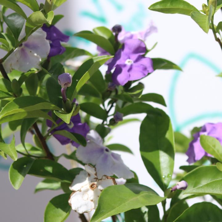 Cây hoa lài nhật có hai màu tím trắng