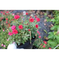Chậu cây hoa hồng tỷ muội màu đỏ