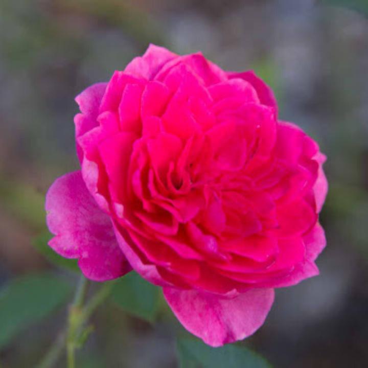 Bông hoa cây hoa hồng Ivor's
