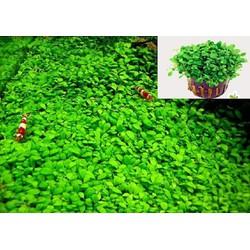 Trân châu nhật cỏ thủy sinh trải nền rất đẹp