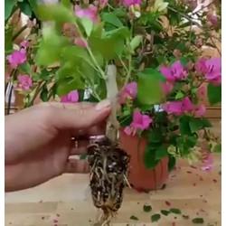 Cây Giống Hoa Giấy Mix Màu