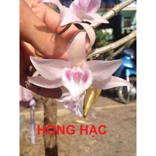 Hồng hạc gieo hạt 4-5 cm - 123 thumbnail