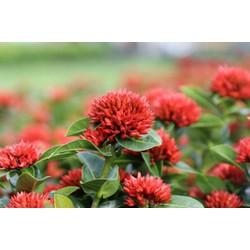 Chậu hoa mẫu đơn ta-hoa trang lá nhỏ hoa màu đỏ đang có hoa