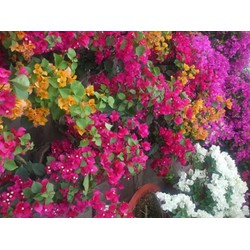 4 Cây hoa giấy ngũ sắc