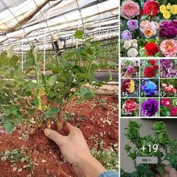 Cây Giống Hoa Hồng Ngoại Giá Tại Vườn