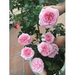 Hoa hồng cổ các loại, nguyên bầu