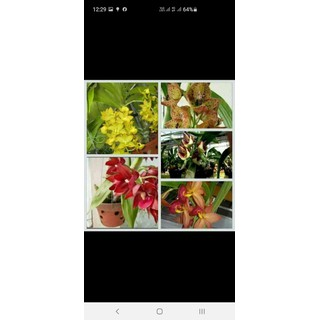 Combo 3 cây thiên nga cây con 120k [ĐƯỢC KIỂM HÀNG] 28491917 - 28491917 thumbnail