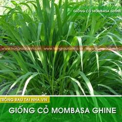 Hạt cỏ chăn nuôi Mombasa Ghine - 500g