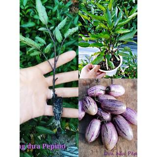 Cây giống dưa hấu pepino tím - duaperpi thumbnail