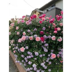 combo 10 gốc hoa hồng leo Pháp