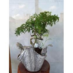 chậu đinh lăng bonsai
