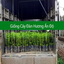Cây Đàn Hương Trắng Việt Nam