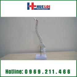 Mô hình giải phẫu xương cột sống 45cm