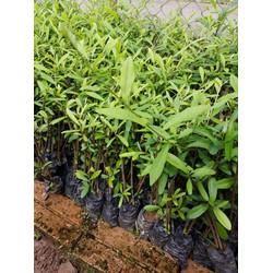 Cúc tần rủ 1 bầu 2 cây - Giao cây như hình ( Đơn hàng 100 k có quà tặng)