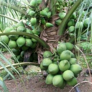 Combo 2 cây Dừa xiêm lùn xanh, cây giống gửi đi nguyên bầu - DXLXNB thumbnail