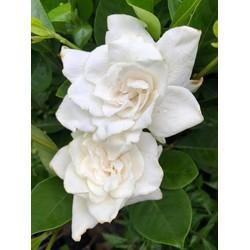 Hoa bạch thiên hương-nguyên bầu cây giống - BCGBTHTT