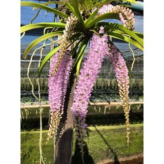 1 BÓ LAN ĐUÔI SÓC LÀO - Hàng chuẩn Rừng - Hoa siêu đẹp, THƠM [ĐƯỢC KIỂM HÀNG] 30761808 - 30761808 thumbnail