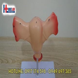 Mô hình cấu tạo tử cung và buồng trứng - MHTUCUNGBT thumbnail