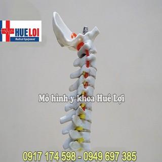 Mô hình mô phỏng cấu tạo 33 đốt sống lưng - MHDOTSONGLUNG thumbnail
