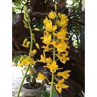 Củ hoa địa lan luân - 9890 thumbnail