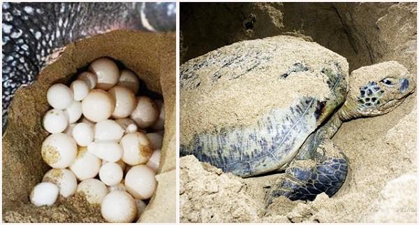 rùa đẻ trứng tại Côn Đảo Archives - Du Lịch Puolotrip