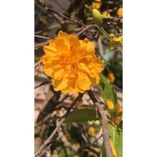 Hoa mai cúc cam 36 cánh_cây giống - NS 06 thumbnail