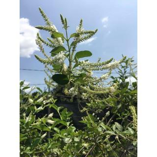 Cây hoa bạch tràm hương giáng hương - CBTH thumbnail