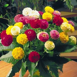 Gói 200 hạt giống hoa cúc ngũ sắc cúc lá nhám nhiều màu MUA ĐỂ NHẬN QUÀ NÀO (MUA TỪ 50K 1 ĐƠN HÀNG TẠI SHOP ĐỂ ĐƯỢC TẶNG 2 SP KHÁC)